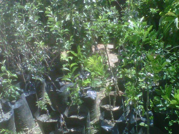 Ing Fruit Nursery