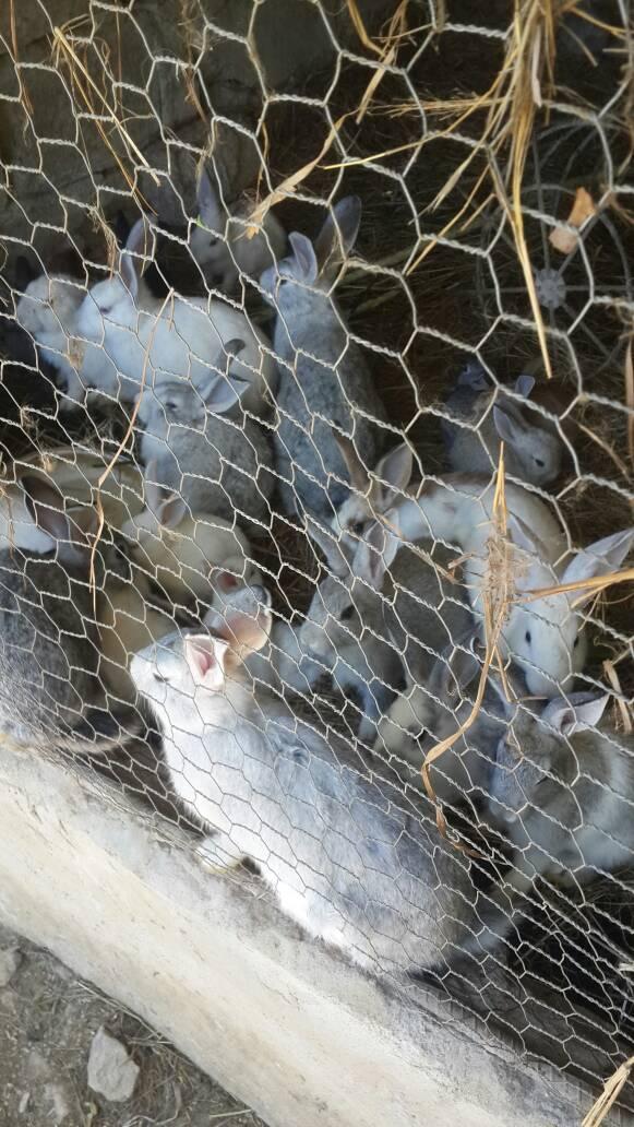 Rabbits for sale  Bulawayo - Agri Universe Zimbabwe